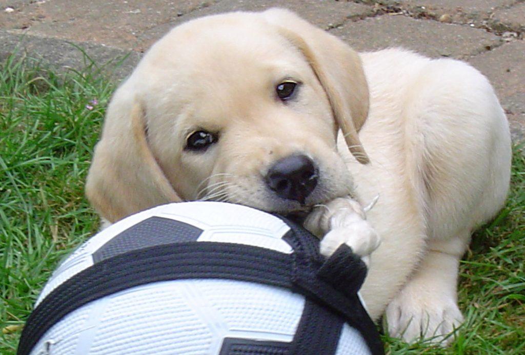Hoera! U heeft een schattige puppy in huis en natuurlijk wil u hem de juiste start geven. Zennehond begeleidt je via individuele puppybegeleiding met plezier bij de puppyopvoeding en geeft je advies bij al je vragen.