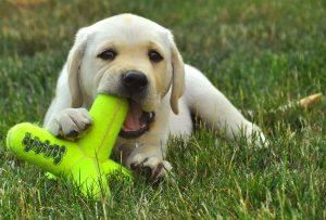 """Tijdens de puppycursus """"Puppies op ontdekking"""" gaan we in kleine groep onze pups de wereld laten ontdekken. Samen met je pup doe je levensvaardigheden op en leren jullie elkaar begrijpen. Jullie vertrouwen in elkaar zal groeien en jullie zullen een hechte band opbouwen."""
