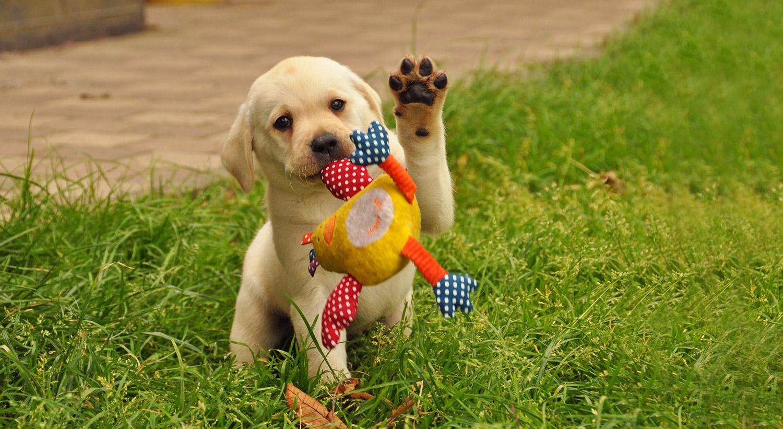 Puppybegeleiding Zennehond